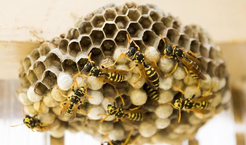 wasp and bee nest removal