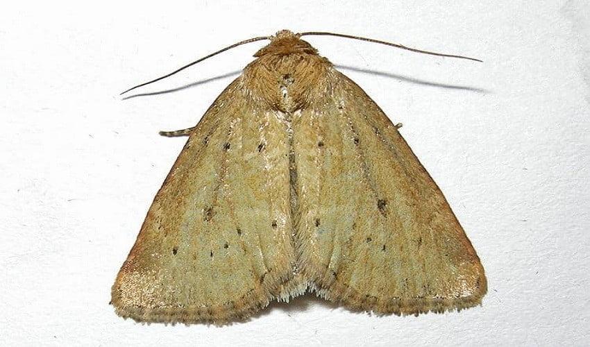 moths pest control melbourne